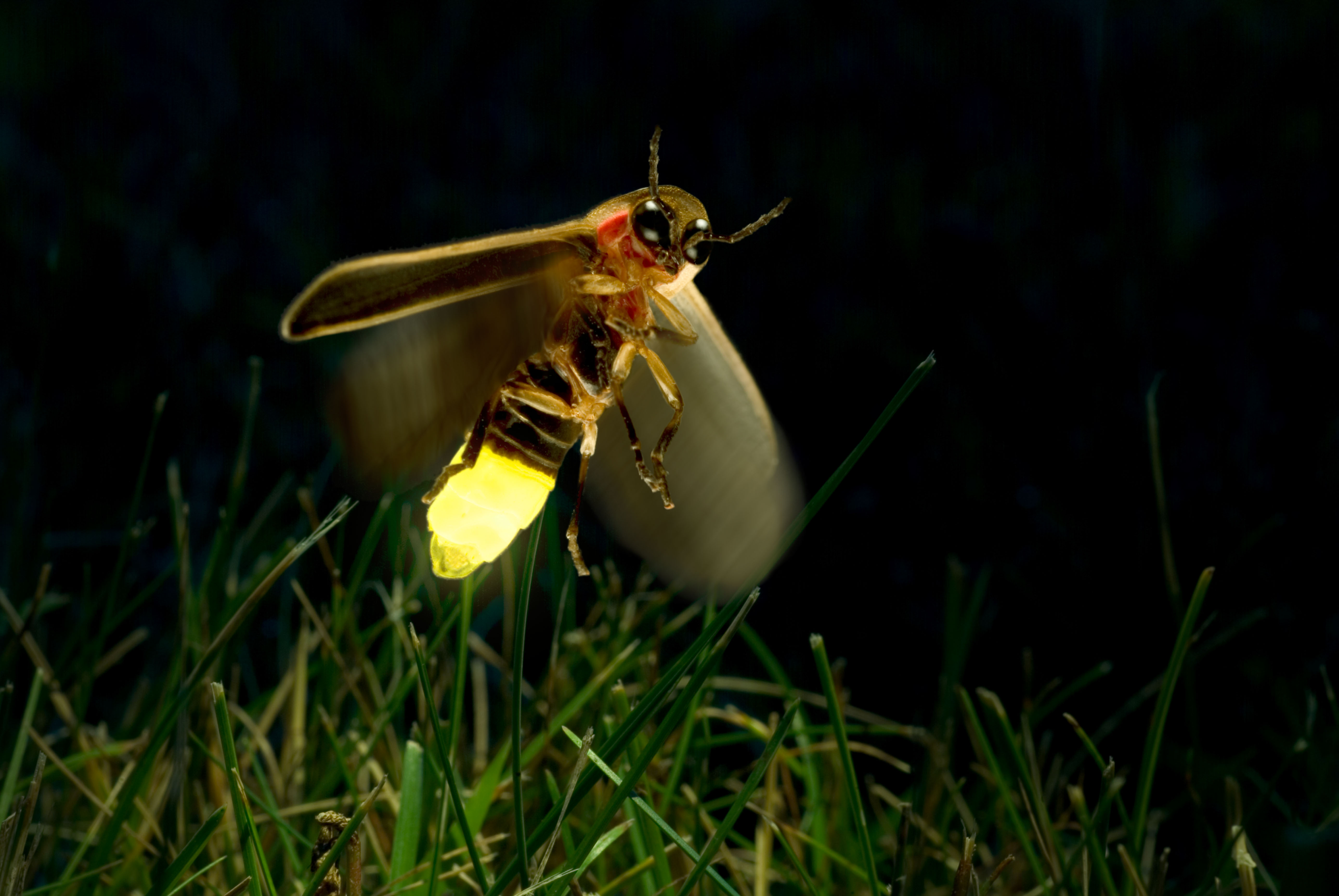 ***This image has been licensed for one time use only. Please contact the copyright owner BEFORE reusing this image***** A8TC0A Firefly Twilight Flight (credit: Alamy/ArgusPhoto)